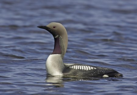 Black Throated Diver - diver birds, black throated diver, birds, bird