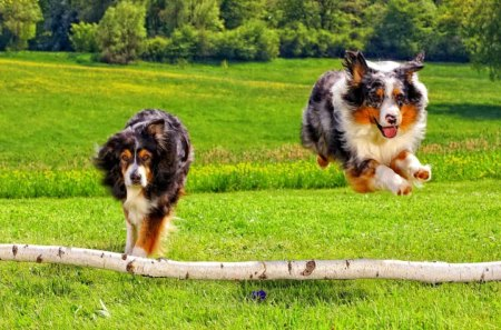 Australian shepherds - grass, jumping, summer, australian, running, shepherds, forest, dogs, meadow, animals, field, park, green
