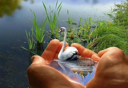 distant - hands, water, grass, swan