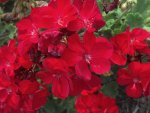 Pretty Red Flowers