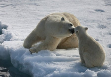 SWEET KISS FOR LISA (Giggles79) - arctic, mothers love, polar bears, mums and kids, winter, motherhood, snow, ice, ice bears, antarctica, cubs, bears