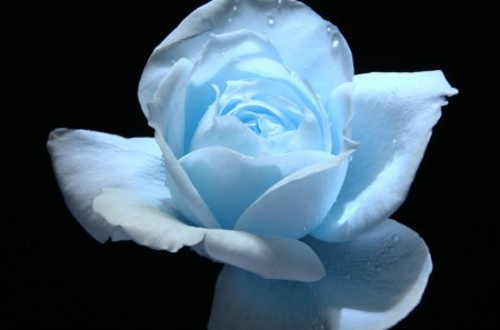 Blue Rose - beauty, flowers, nature, rose