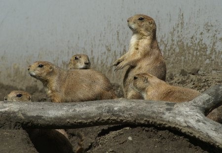 Prairie Dog Family - rodents, zoo, family, animals