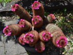 Pink flowering cacti
