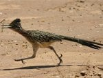 Roadrunner On The Move