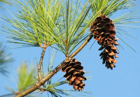 Pine Cones Against A Blue Sky - autumn, sky, pine, nature, fall, pine cones, trees