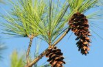 Pine Cones Against A Blue Sky