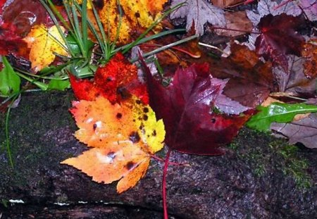 Wet Leaves on a Log - autumn, colorful, forest, tree, fall, nature, rain, leaves