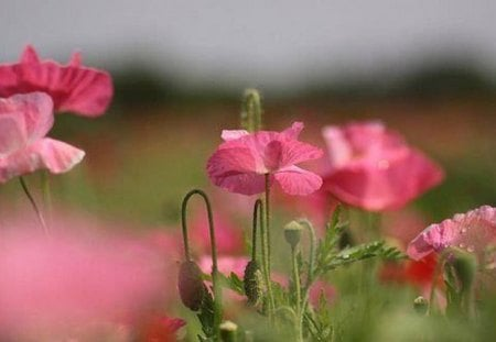 A Poppy Story - beauty, flowers, pink, poppy