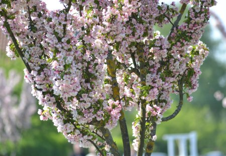 Pink blooming tree - bloom, spring, nature, tree