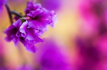 Purple Love - purple, love, flower, muted