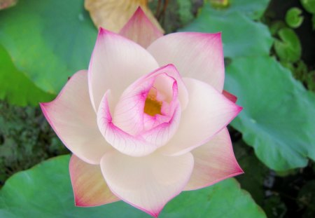 Delicate beauty - lotus, beautiful, purity, delicate