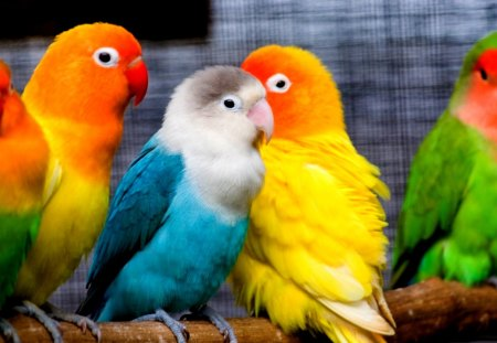 PRETTY PARAKEETS - small, birds, colors, parrots, parakeets