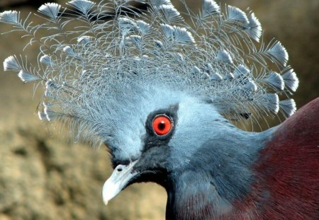 Pidgeon - red, red eye, wings, brown, eye, animal, frill, bird, crown, beak, nature, feathers, blue