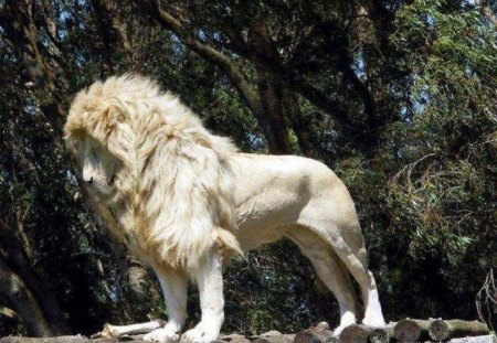 White Lion - lion, animals, cats, other, nature, white lion