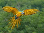 Blue and Yellow Macaw, St. Croix, Virgin Islands