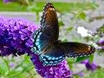 *** Butterfly on Purple Flower ***