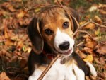 Autumn Beagel