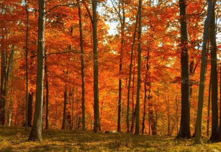 Fall's Forest - tall trees, daytime, fall, forest, autumn, orange, grass, leaves, trees, tree