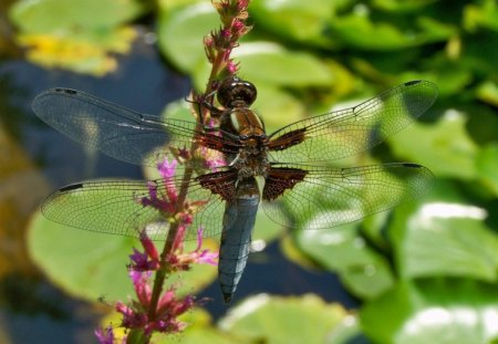 BABY DRAGONFLY - gardens, ponds, insects, juveniles, dragonflies, wings, wildlife, blues, lilypads, water creatures