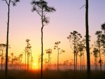 silhouetted pines at sunrise in the everglades