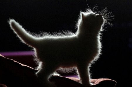 Kitten Silloette - fuzzy, small, adorible, cat, fur, cute, animal, child, tail, soft, furry, kitten, baby cat, paws