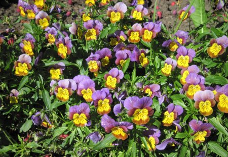 pansies Flowers at Edmonton garden 09 - flowers, pansies, purple, green, yellow