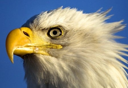 Bald Eagle - bird of prey, beak, feathers, large, bird, eagle, bald