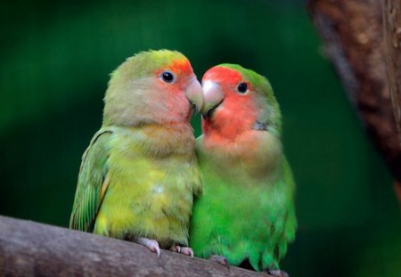 Love Birs - wings, gree, feathers, lovebirds, red, bird, pretty, love, blush