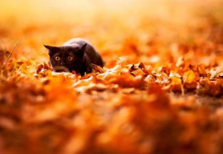 Cat in autumn leaves - humor, nice, look, kitty, animals, adorable, autumn, pet, funny, kitten, leaves, cute, cat