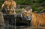 the tiger bathroom