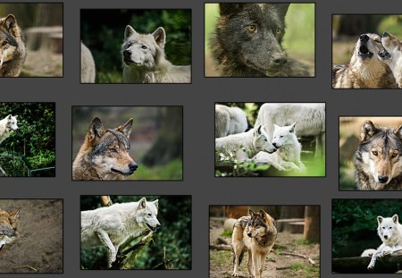 Wolf Collage - friendship, white, grey wolf, wild animal black, winter, majestic, howl, wolf collage, canine, arctic, calender, wolves, wolf wallpaper, black, grey, canis lupus, wolfrunning, insnow, abstract, wolf pack, dog, howling, spirit, nature, solitude, timber, lobo, wallpaper, beautiful, lone wolf, snow, mythical, wolf, the pack, pack
