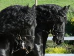 Friesian Dudes