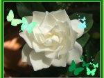 """""""Butterflies on White Gardenia"""""""