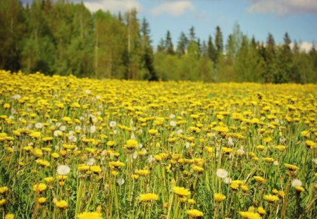 Yellow Field - flowers, beautiful, forest, meadow, field, nice, trees, yellow