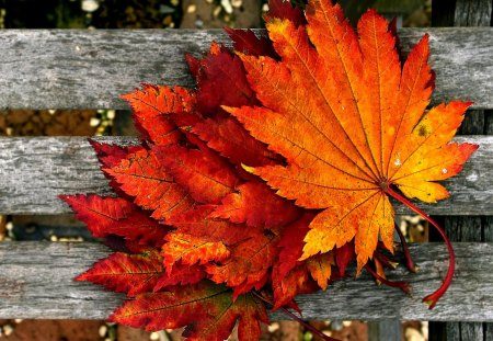 MAPLE LEAVES - photo, leaves, maple, autumn