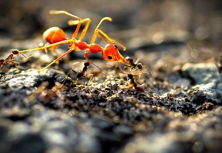Ant - red, black, ant, workers