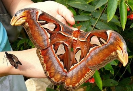 Atlas Moth - moth, hand, atlas, leaf