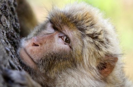 Barbary macaque - monkey, barbary, macaque, gibraltar