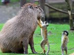 Capybara and Squirrel Monkey