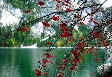 Lake Braies - Italy - emerald, berries, lake, tree, red, branches, braies, mountain, calm, lakeshore, europe, nice, nature, reflection, beautiful, lovely, italy, snowy, green, shore