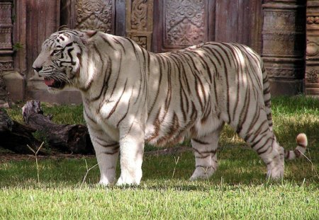 GREAT WHITE TIGER - endangered, predators, temples, rare, giants, cats