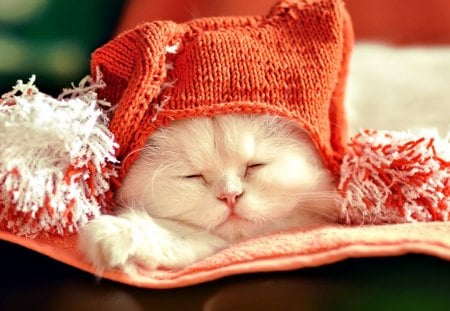 Cute Kitty - pretty, white cat, beautiful, adorable, sweet, beauty, face, sleepy, animals, lovely, kitty, cat, sleeping, cat face, hat, cute, paws, cats, kitten