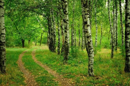 My lovely birch trees - forest, my lovely birch trees, amazing, nice, green, summer, nature, beautiful