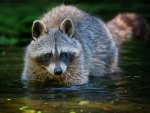 *** Raccoon in the Water ***