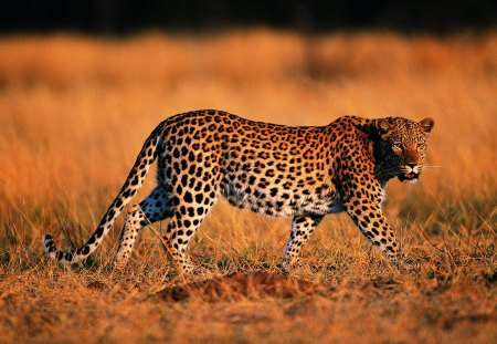 Leopard - animal, leopard, jungle, wild
