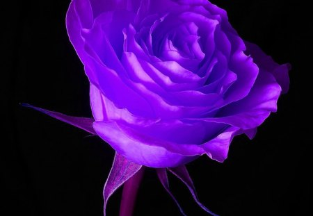 Purple Rose - purple, rose, blask background, flower, abstract