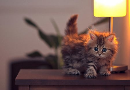Cute Kitty - pretty, beautiful, adorable, cat eyes, sweet, photography, beauty, face, light, animals, lamp, lovely, lamps, kitty, cat, cat face, cute, paws, eyes, cats, kitten
