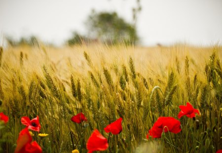 Poppies - red, pretty, summer time, wheat, poppies, maki, beautiful, kwiaty, flowers field, flowers, beauty, klosy, poppy, lovely, tree, poppies field, red flowers, summer, field of poppies, nature, field of flowers, zboze, field, landscape