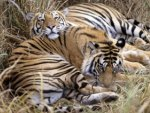 *** Two resting tigers ***